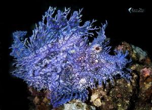 blue Rhinopias by Leon Zhao