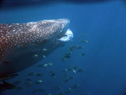 Whale Shark - Ningaloo reef, Western Australia. Olympus 8... by Quentin Long