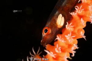 """""""两粒米""""(goby with parasitic) 在一根海鞭上看到这条小鱼,认真观察发现它鳃部长了两粒寄生虫... by Ming Wen"""