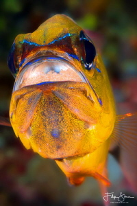 Cardinalfish, Puerto Galera, Philippines. by Filip Staes