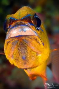 Cardinalfish, Puerto Galera, Philippines. by Filip Staes