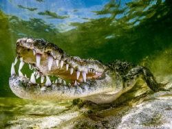 American Crocodile - An American crocodile shot at Banco ... by Tom St George