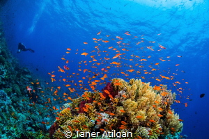 Colors of Red Sea. By the way, the diver in the picture i... by Taner Atilgan