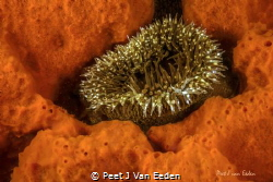 A golden moment- for  a sandy anemone by Peet J Van Eeden