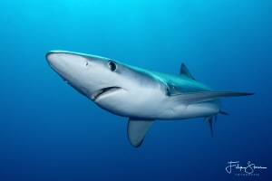 Portret of a Blue shark.Atlantic ocean, South Africa. by Filip Staes