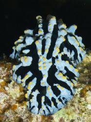Wartslug taken at Sharksbay, Sharm el Sheikh with Olympus... by Nikki Van Veelen
