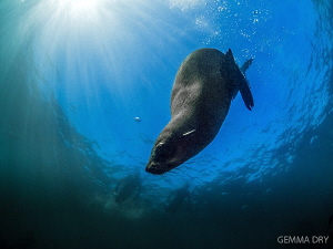 Playful seal pup ~ Hout Bay ~ South Africa by Gemma Dry
