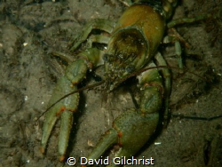 Several crayfish were spotted this afternoon on a dive in... by David Gilchrist