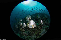 A School of Spadefish/Bunaken NP.Indonesia, Canon 5D Mark... by Yuping Chen