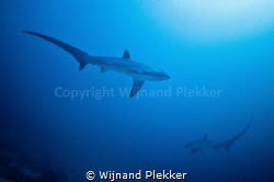 2 Thresher Sharks cicling by Wijnand Plekker