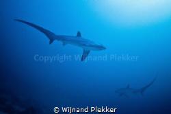 2 Thresher Sharks circling by Wijnand Plekker