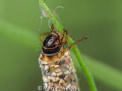 Caddisflies ,(Trichoptera) Also called sedge-flies or rai... by Marcel Waldis