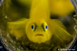 Yellow goby in the bottle by Raffaele Livornese