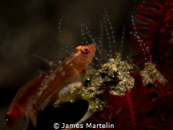PEARL GARDEN, a pair of gobys with their eggs. Bali April... by James Martelin