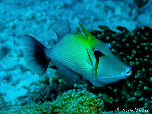 Scythe Triggerfish by Norm Vexler