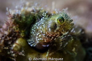 Secretary Blenny by Abimael Márquez
