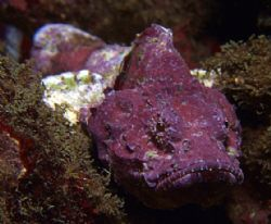 Baby purple stonefish in Taiwan.. first day with FUJI E90... by Alex Tattersall