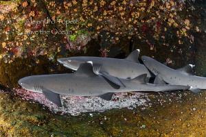 Sleeping Sharks, Roca Partida México by Alejandro Topete
