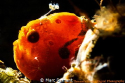A tiny snooted back lit Frogfish. by Marc Damant