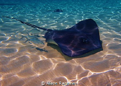Sting Ray City by Alison Ranheim