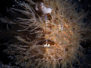 Hairy Frogfish by Aleksandr Marinicev