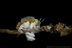 E G G S ! !  Nudibranch laying eggs (Doto ussi/Dotidae)... by Irwin Ang