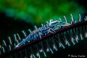 Crinoid Shrimp by Norm Vexler