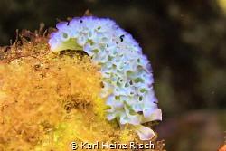 Elysia crispata - Blumenkohl-Sackzungenschnecke - Curaçao by Karl Heinz Risch