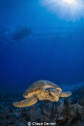 """""""Little Big Logger"""" By far the youngest Loggerhead I hav... by Chase Darnell"""
