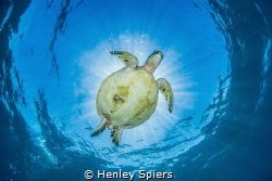 Turtle Belly by Henley Spiers
