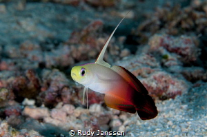 Fire goby by Rudy Janssen