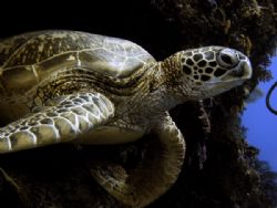 Young Green Tutle at Sipadan by Alex Lim