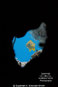 """""""Peek-A-Boo!"""" A French grunt is framed as it peers out t... by Susannah H. Snowden-Smith"""