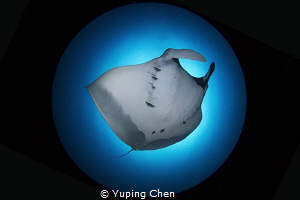Solo Dance/Manta Ray/Raja Ampat,Indonesia, Canon 5D MarkI... by Yuping Chen