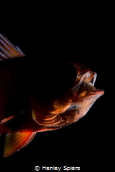 Creepy Cardinalfish by Henley Spiers