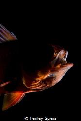 Creepy Cardinalfish by Henley Spiers