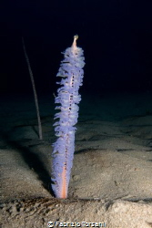 A wonderful sea pen by Fabrizio Torsani