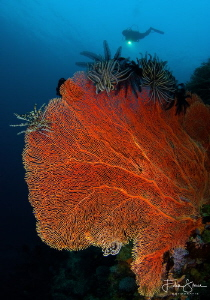 Giant seafan and diver, Bali. by Filip Staes