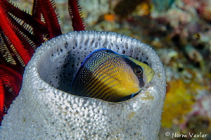 Splendid Dottyback in Raja Ampat by Norm Vexler
