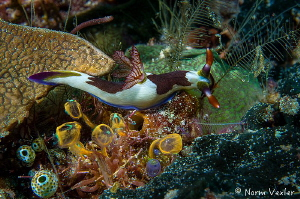 The beautiful Nembrotha Nudibranch in Raja Ampat by Norm Vexler