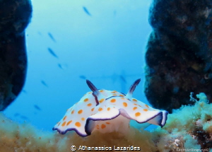 Goniobranchus annulatus by Athanassios Lazarides