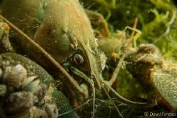 crayfish by David Ferreira