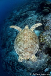 turtle swimming on the reef by Raffaele Livornese