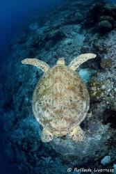 turtle swimming on the reef by Raffaele Livornese