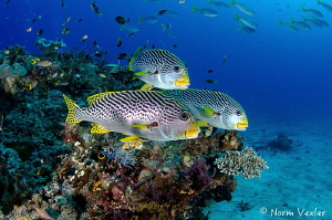 Close encounter with Diagonal-Banded Sweetlips in Raja Am... by Norm Vexler