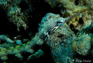 Network Pipefish at Pef, Raja Ampat. by Norm Vexler