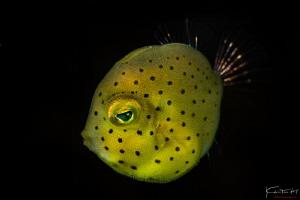 Photo name: Yellow box (Boxfish) by Kelvin H.y. Tan