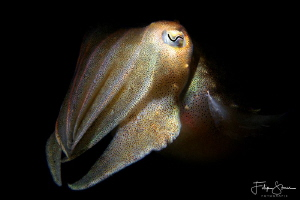 Portret of a juvenile cuttlefish, Zeeland, The Netherlands. by Filip Staes