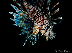 Lionfish in Raja Ampat by Norm Vexler