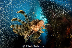 Lion fish hunting by Gleb Tolstov